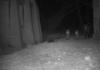 Imatge de senglars captada per càmeres de l'estudi